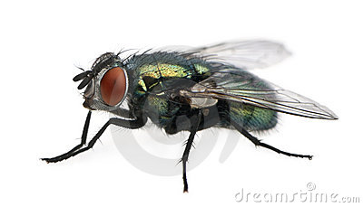 Side view of Lucilia caesar, blow-fly