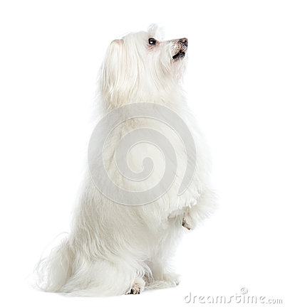 Side view of a Maltese upright, isolated