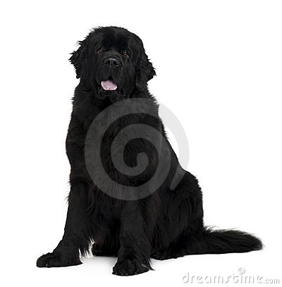 Side view of Newfoundland dog, sitting