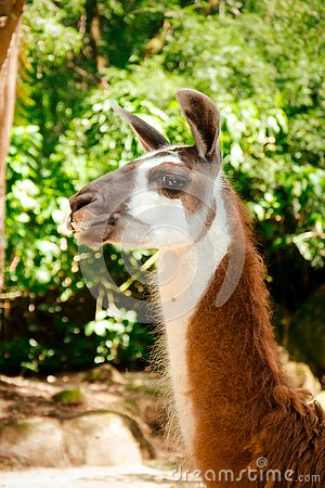 Free Side-view Of A Brown And White Llama Stock Images - 132602644