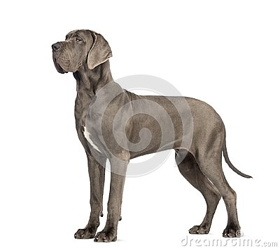 Free Side View Of A Great Dane, 10 Months Old, In Front Of White Back Royalty Free Stock Images - 103837449