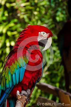Free Side-view Of A Green-Winged Macaw Royalty Free Stock Photos - 132602688