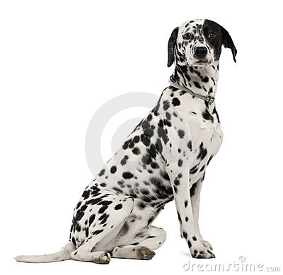 Free Side View Of Dalmatian Dog, Sitting Royalty Free Stock Images - 12485989