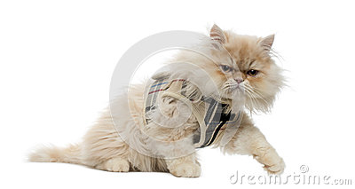 Side view of a Persian kitten with tartan harness
