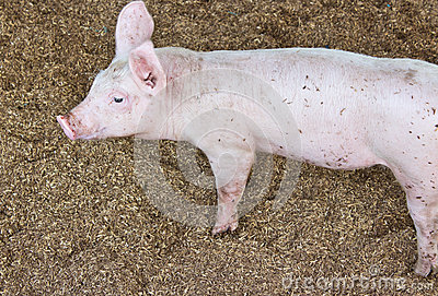Side view of a pig