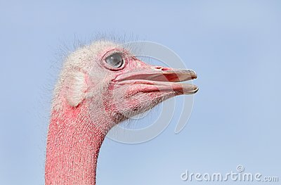 Side view of the red face Ostrich
