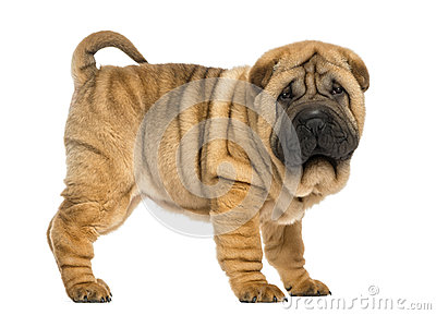 Side view of Shar pei puppy (11 weeks old)
