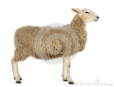 Side view of a Sheep