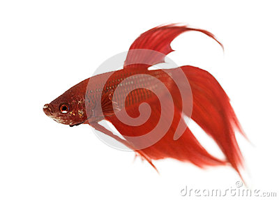 Side view of a Siamese fighting fish, Betta splendens