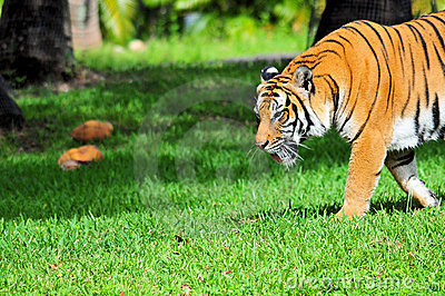 Side View of a Tiger