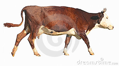 Side view of a walking brown cow