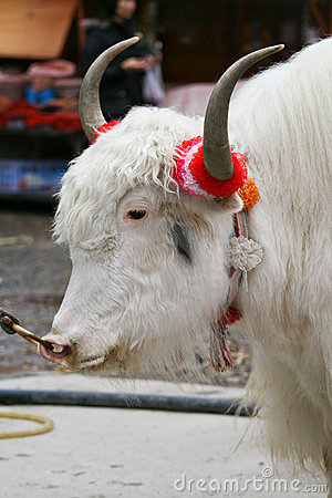 Side view of white yak