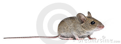 Side view of Wood mouse Stock Photo