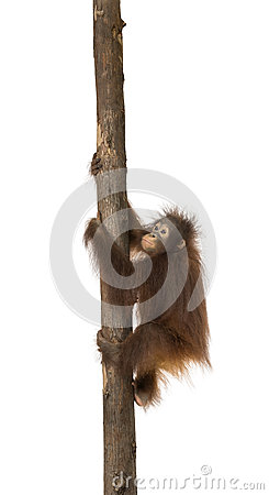 Side view of a young Bornean orangutan climbing on a tree trunk