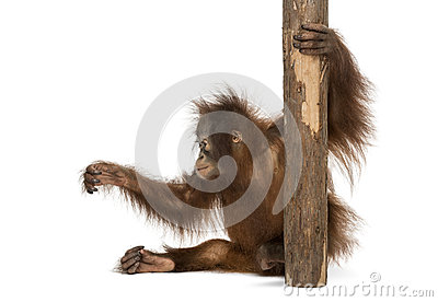 Side view of a young Bornean orangutan sitting, holding to a tree trunk