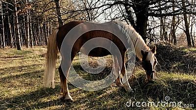Sidosikten av den härliga manliga hästen som betar gräs i, misten träottaultrarapid arkivfilmer