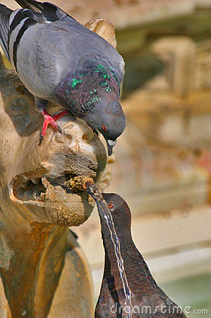 Pigeons drinking from a lion fountain in Siena Italy