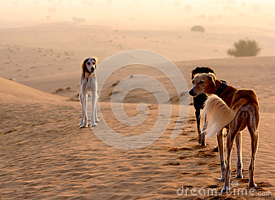 Sighthounds, Salukis In The Arabian Desert Stock Photo ...