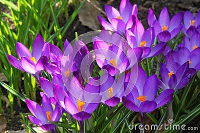 Sign of spring - crocus