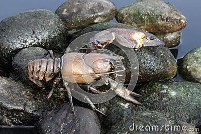 Signal crayfish, Pacifastacus leniusculus