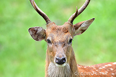 The Sika Dee