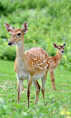Free Sika Deer Stock Photography - 20072632