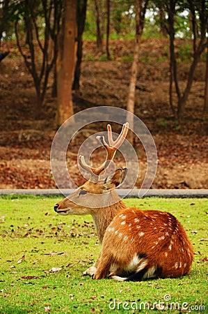 The sika deer