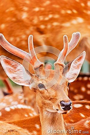 Free Sika Deer Stock Images - 23564104