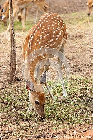 A Sika Deer