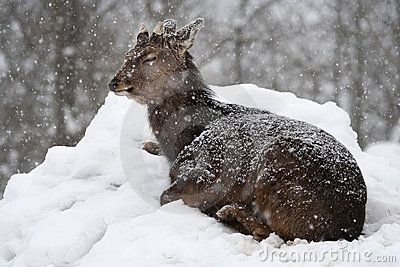 Sika deer (Cervus nippon) under the snowfall