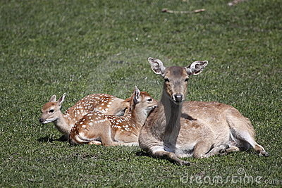 Sika deer with her juveniles