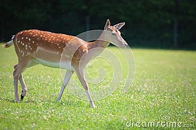 Sika deer on meadow