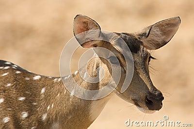 Sika Deer portrait