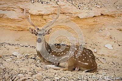 Sika Deer resting