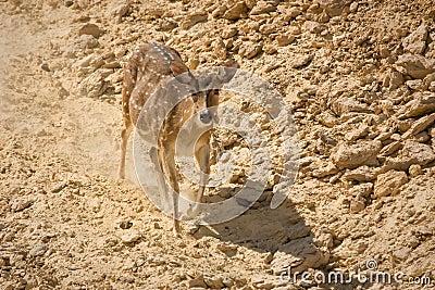 Sika Deer running