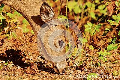 Sika Elk, Cervus nippon