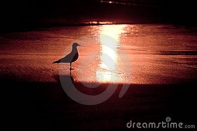 Silhouette of Bird at Manly beach