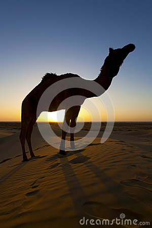 Silhouette of a Camels in the desert.