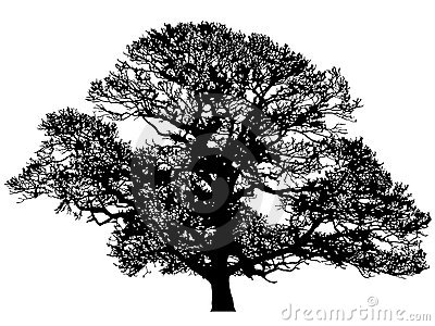 Silhouette de chêne de l hiver