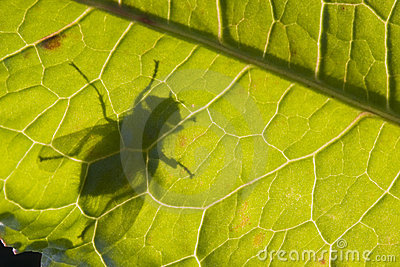 Silhouette of fly on Dock leaf