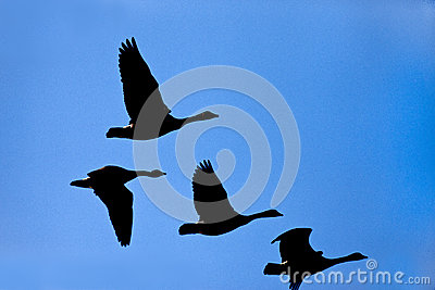 Silhouette of geese in sky.