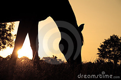 Silhouette of a grazing Arabian horse