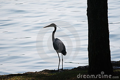 Silhouette of Great Blue Heron standing