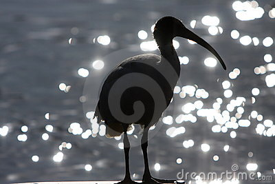 Silhouette of Ibis bird and water.