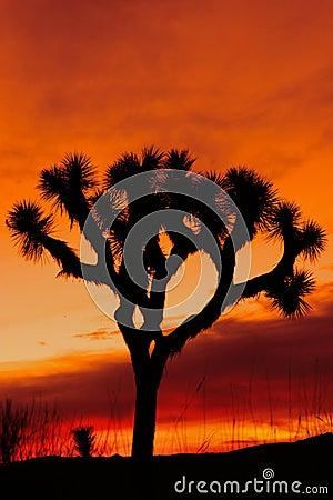 Silhouette of Joshua tree at sunset