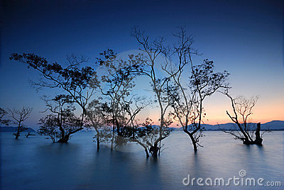 Silhouette of mangrove trees
