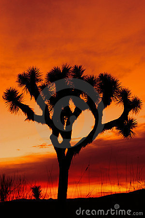 Free Silhouette Of Joshua Tree At Sunset Stock Photography - 700372