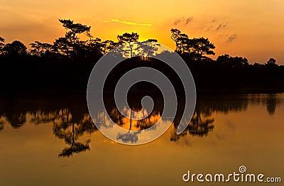 Silhouette pine tree