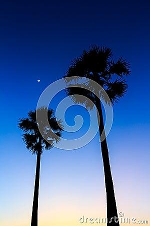 Silhouette of sugar palm tree on sunset sky