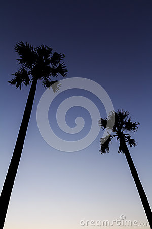Silhouette of sugar palm tree on sunset sky